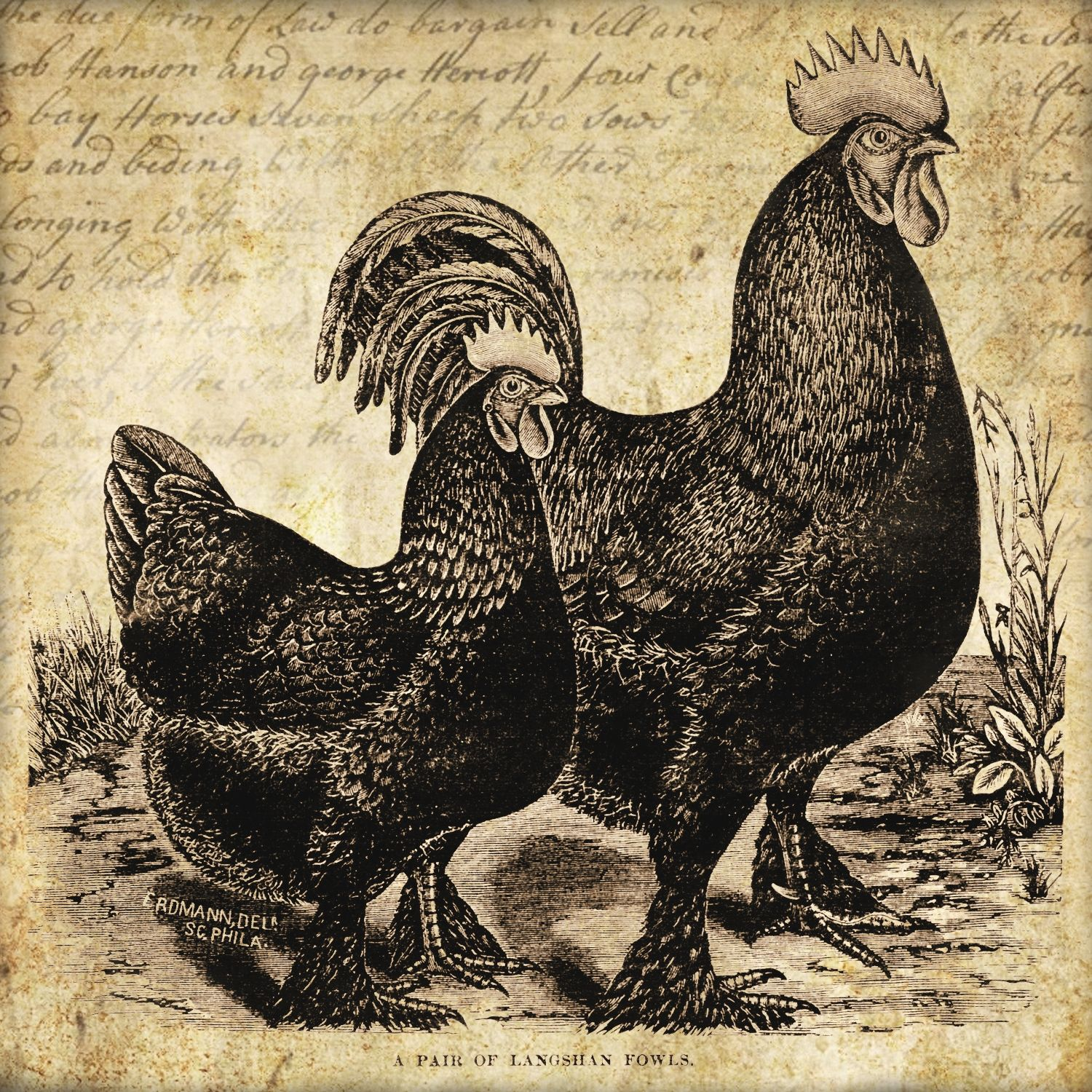 Rooster Amp Hen Label 5 X 5 Square Label Grungy Distressed Look With Handwritten Farm