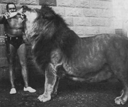 Image result for male lion size comparison to human