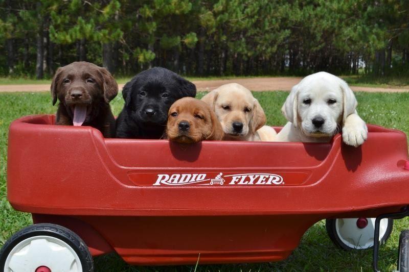 Labrador Retriever Puppies For Sale In Wisconsin Healthy Akc Lab
