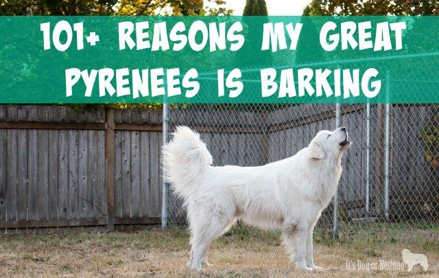 101 Reasons For Great Pyrenees Barking Great Pyrenees Pyrenees
