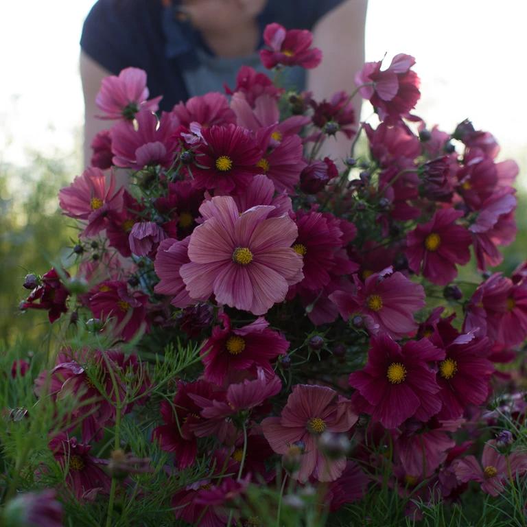 Cosmos Rubenza In 2020 Beautiful Flowers Garden Cosmos Flowers Flower Farm