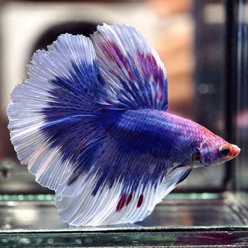 Live Betta Fish 034 Blue Electric Indigo Purple Butterfly Rosetail Hm 034 Male Betta Fish Betta Fish