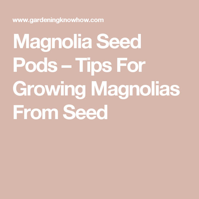Propagating Magnolia Seeds How To Grow A Magnolia Tree From Seed