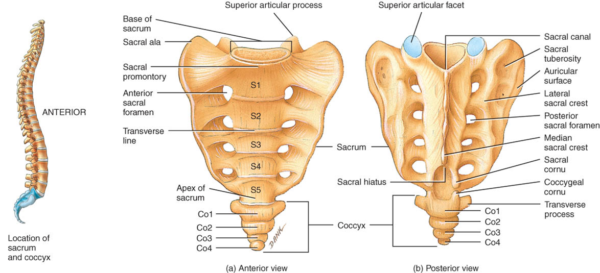 sacral vertebrae | Axial Skeleton | Study Tips | Pinterest | Axial ...