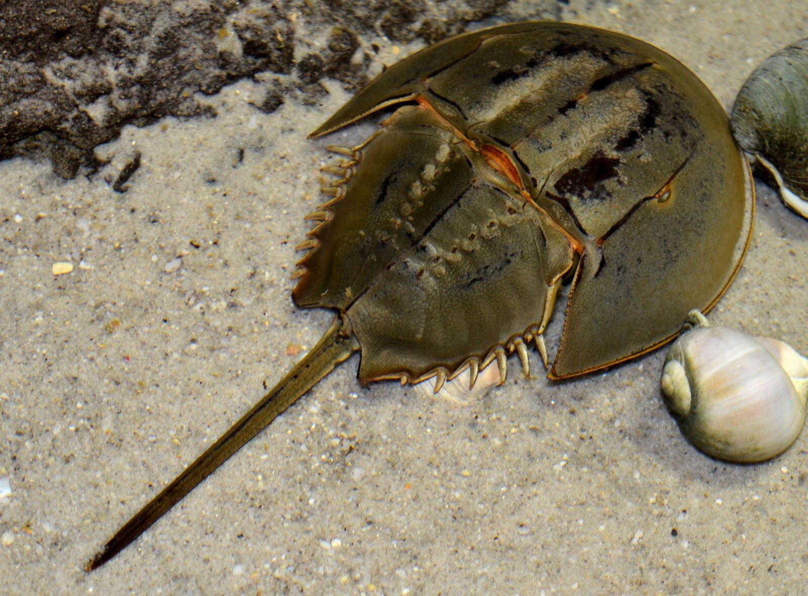 Horseshoe Crab Horseshoe Crab Living Fossil Crab
