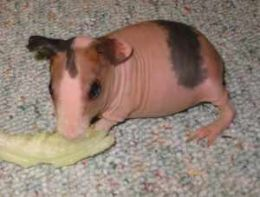 Pin On Cute Emergency Guinea Pigs