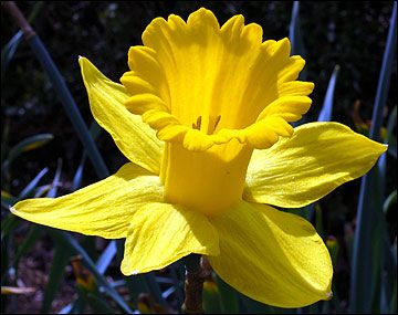 Oh I looooooove daffodils