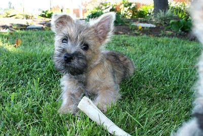 Cairn Terrier Puppies Images With Images Cairn Terrier Puppies