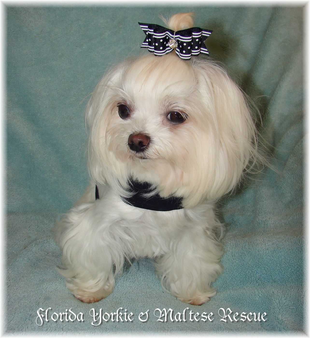 Maltese Rescue Home Page Yorkie puppy, Maltese, Yorkie