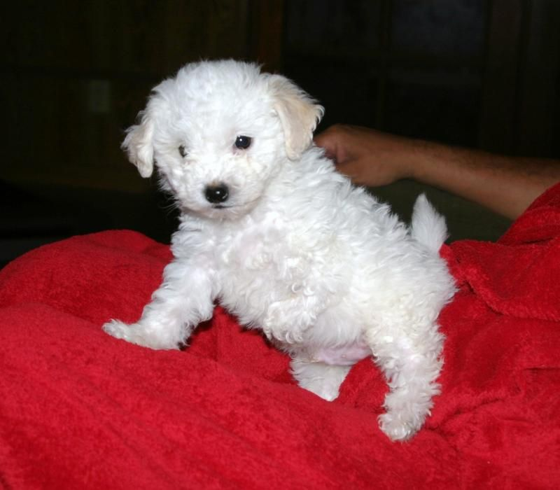 Adopt Quigley On We Need A Loving Home Dogs Maltese Poodle