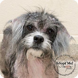 Shih Tzu Mix Dog For Adoption In Troy Ohio Gus Dog Adoption