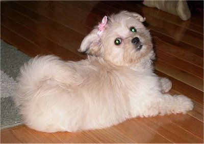 Havanese And Maltese Mix A Havamalt This Is Lily Hybrid