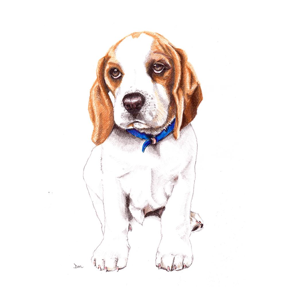 Puppy Dudley the Beagle Pet portraits, Pencil portrait