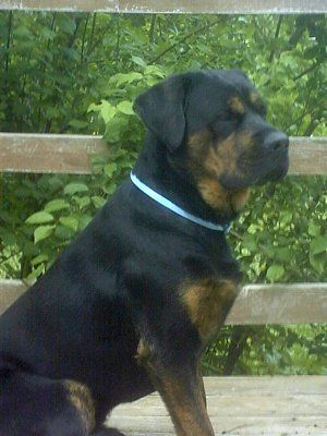 American Bulldog Mastiff Mix English Mastweiler English
