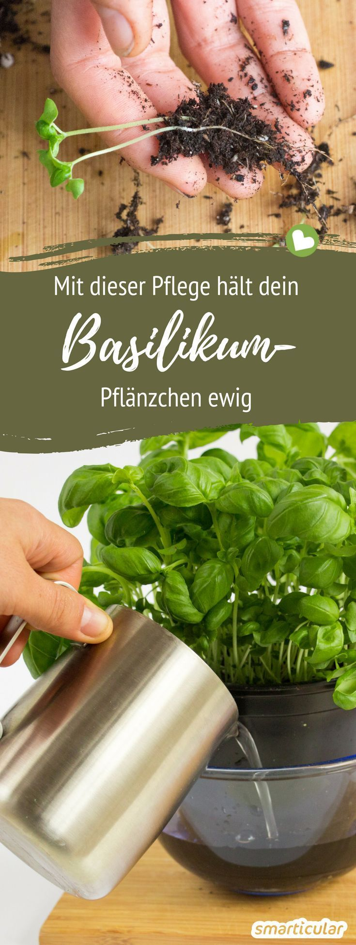 Photo of With these 7 tips, basil pots survive forever
