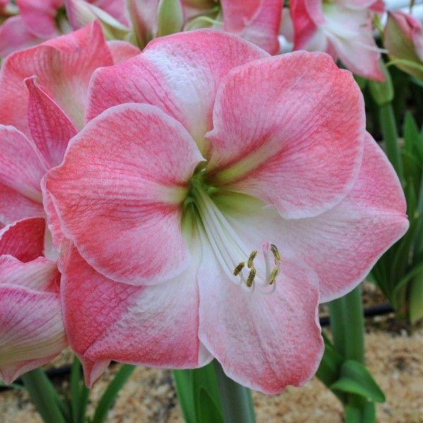 wow die amaryllis 39 caprice 39 tr gt traumsch ne bl ten in wei und rosa die zwiebeln werden im. Black Bedroom Furniture Sets. Home Design Ideas