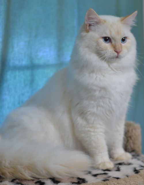 Pix For Flame Point Ragdoll Cute Cats And Dogs Cat With Blue