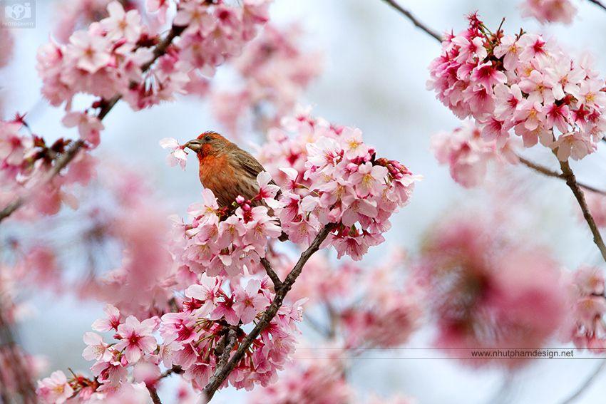Bird And Sakura By Nhut Pham On 500px Cherry Blossom Season Cherry Blossom Japanese Cherry Tree