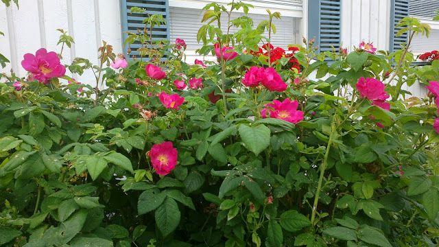 Kukkaiselämää - My flowering life  Valamonruusu -  Valaam rose