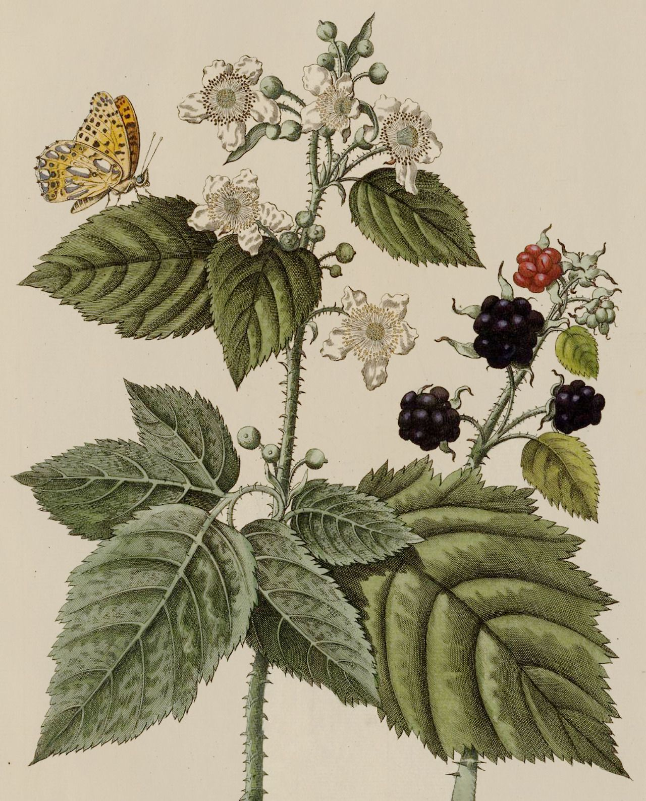 Clawmarks: Icones Plantarvm - Casimir Christoph Schmidel - 1747 - via e-rara - #Casimir #Christoph #clawmarks: #e-rara #Icones #Plantarvm #Schmidel