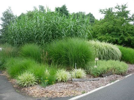 Ornamental grasses ornamental grasses and other tall and for Best tall grasses for privacy