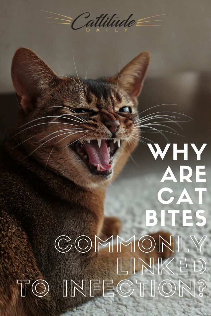 Why Are Cat Bites So Badly Linked To Infection In 2020 Cat Biting Cat Facts Funny Feline Anatomy