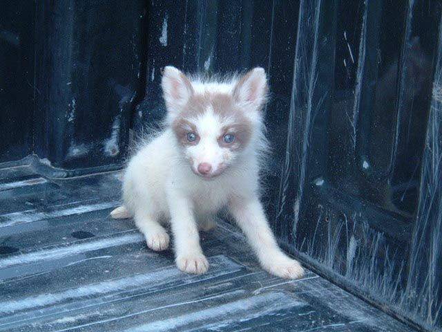 Arctic Marble Fox With Beautiful Blue Eyes Pink Champagne Fox Fox Beautiful Blue Eyes