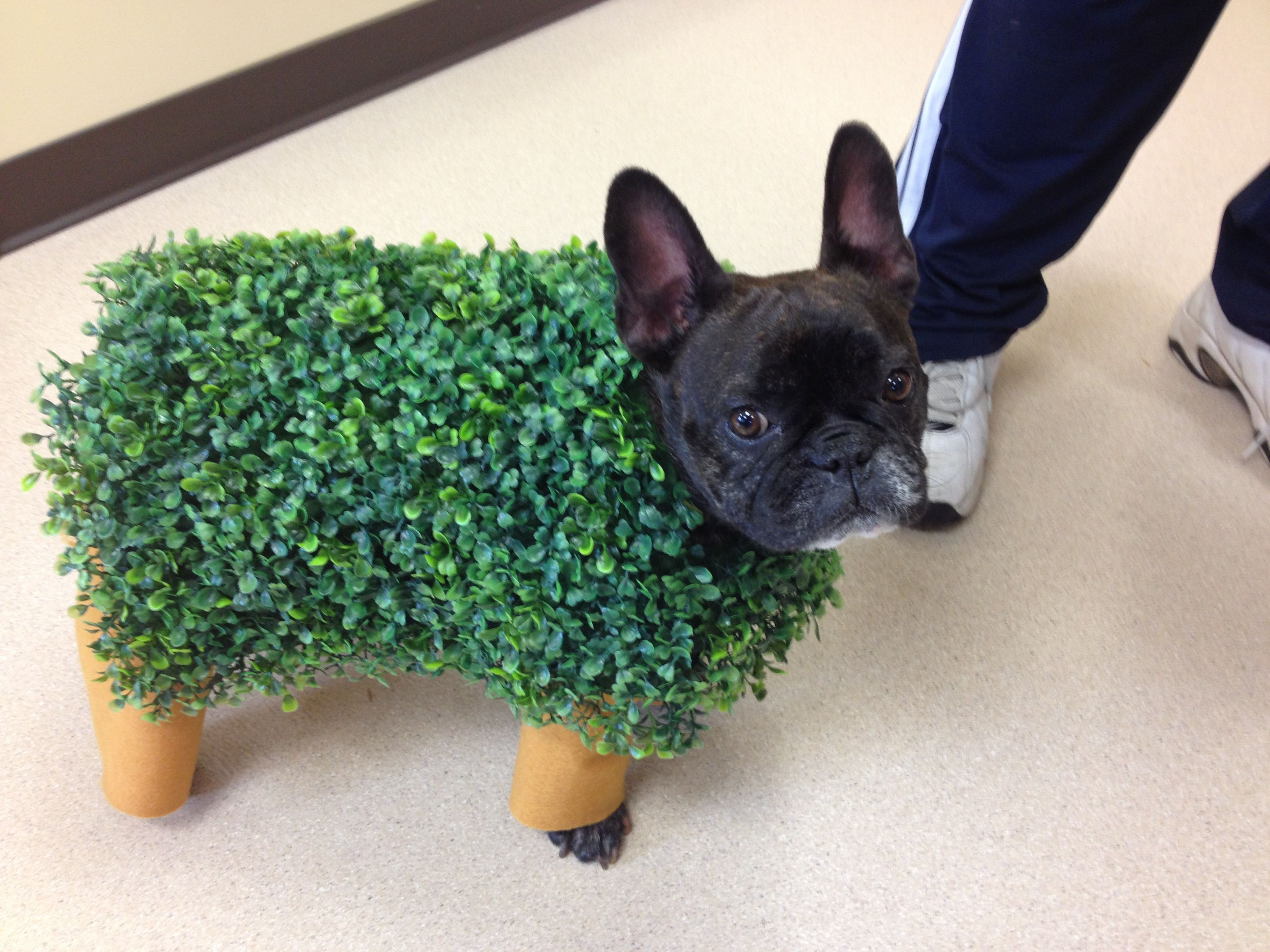 Takes The Cake Or Candy Corn As The Case May Be Chia Pet Frenchie Chiapet French French Bulldog Halloween Costumes French Bulldog Costume Bulldog Costume