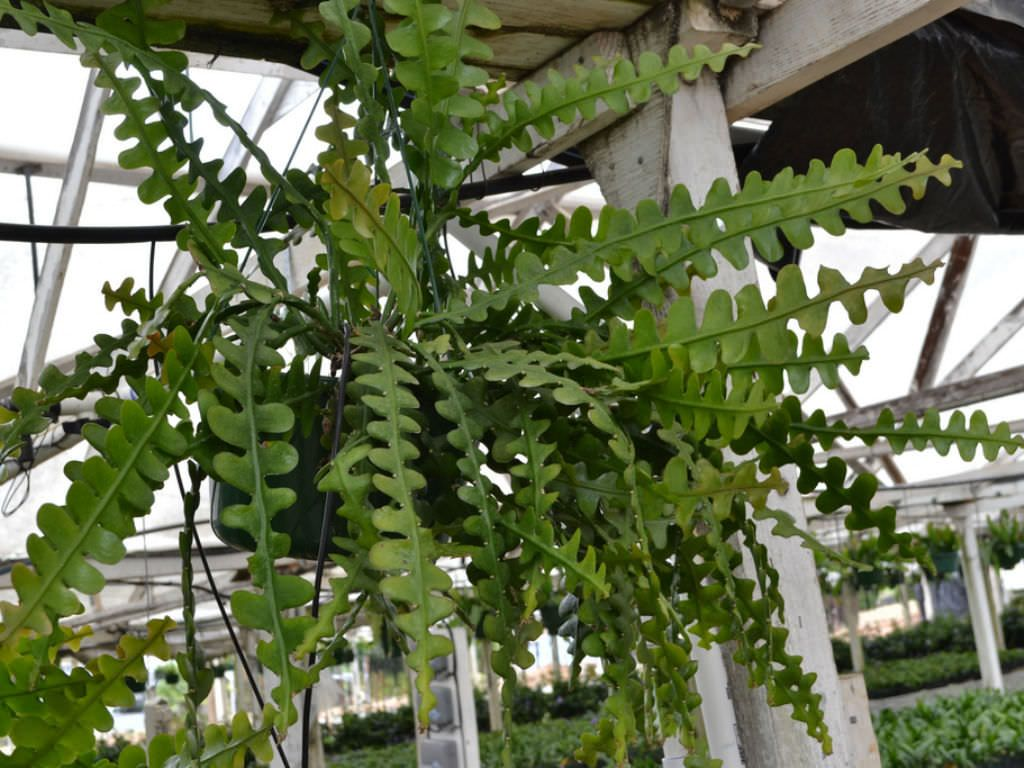 epiphyllum anguliger fishbone cactus moon cactus is an