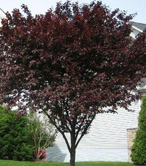 Purple Leaf Plum Sierra Vista Growers Purple Leaf Plum