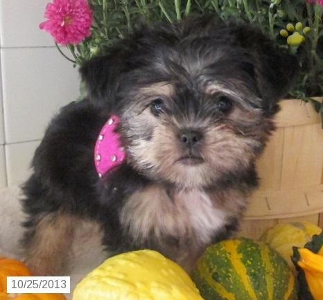 Twixi Shorkie Puppy For Sale In Millersburg Oh Shorkie Puppy For Sale Shorkie Puppies Puppies For Sale Shorkie Puppies For Sale