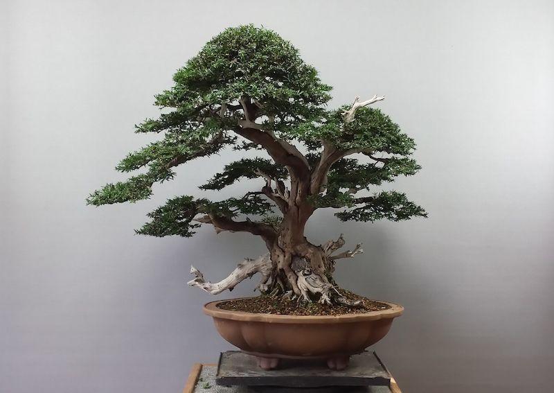 Taxus Baccata Bonsai Tree Types Taxus Baccata Bonsai Tree Care