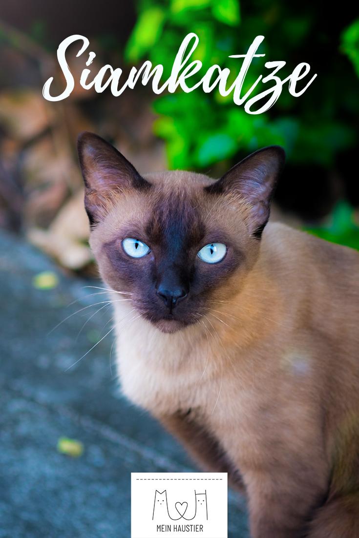 Siamkatze Steckbrief Siamkatze, Siam kätzchen, Katzen