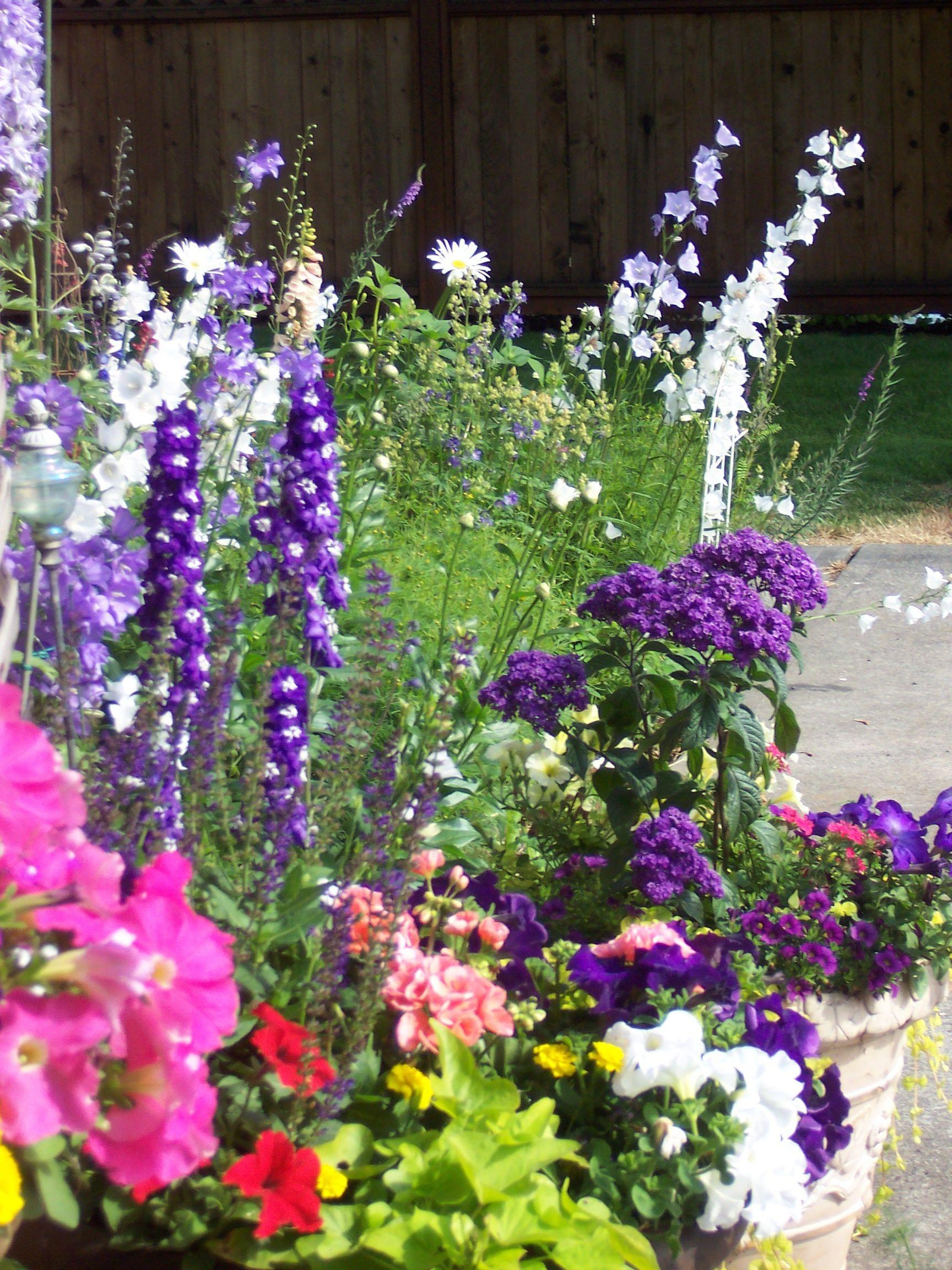 Hellebore Delphinium Potato Canterbury Bells And Petunias Delphinium Petunias Flower Pots