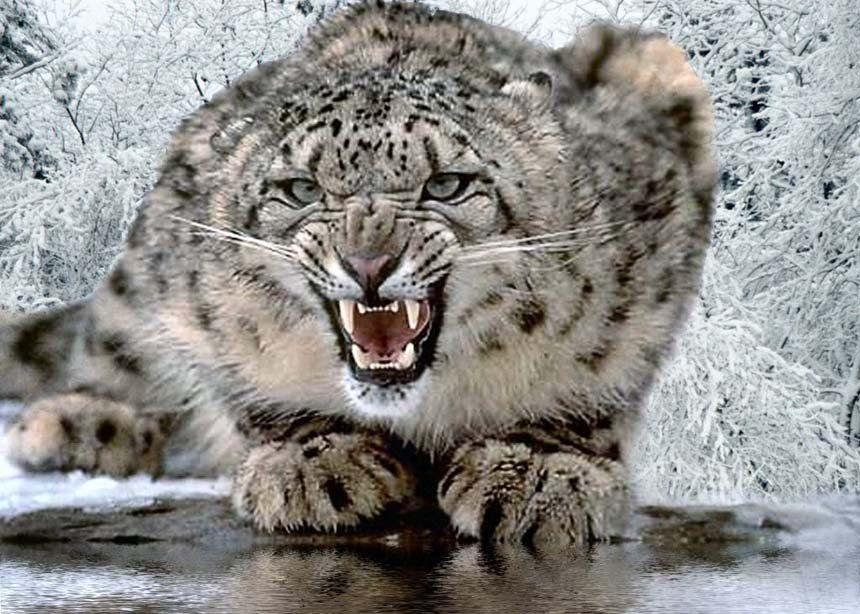 Big Fierce Animals Rare   Diezman al leopardo de las nieves en ...