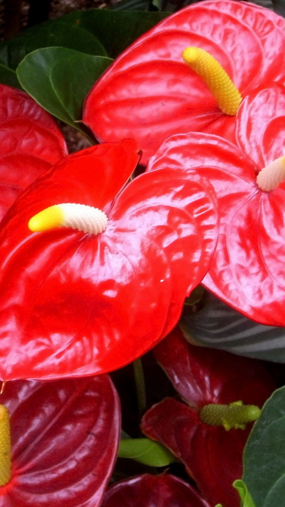 Download Wallpaper 1080x1920 Anthurium Flower Red Green Close Up Sony Xperia Z1 Zl Z Samsung Galaxy S4 Htc One Hd Back Jardineria Plantas Jardin Flores