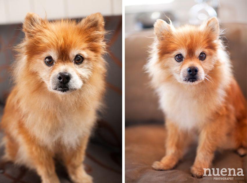 Beagle Mixed With Pomeranian Pomeranian Mix Beagle Mix Dog Lovers