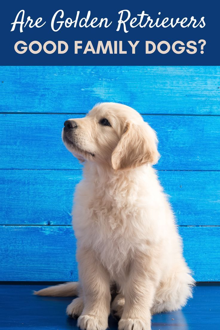 Are Golden Retrievers Good Family Dogs Pet Hooligans In 2020 Best Dogs For Families Golden Retriever Unique Dog Breeds