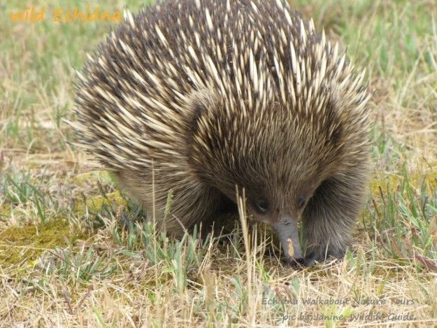 Echidna You Never Knew This Animal Existed Bizarre Animals