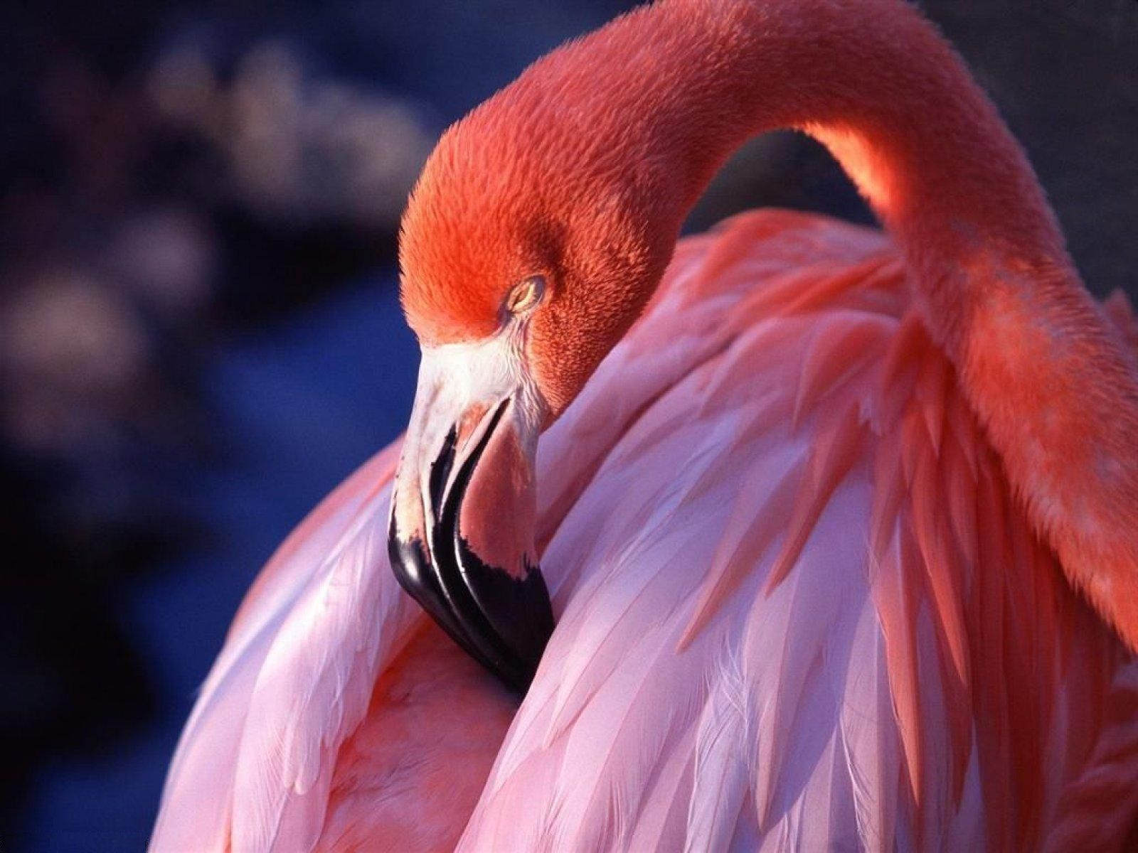 flamingo-bird-feathers-pink-animals-high-definition-wallpaper-for-desktop-background-downlaod-flamingoes-images-free.jpg (1600×1200)