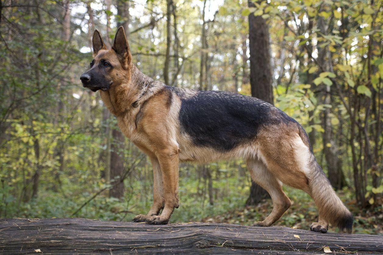 German Shepherd Puppies For Sale Greenfield Puppies