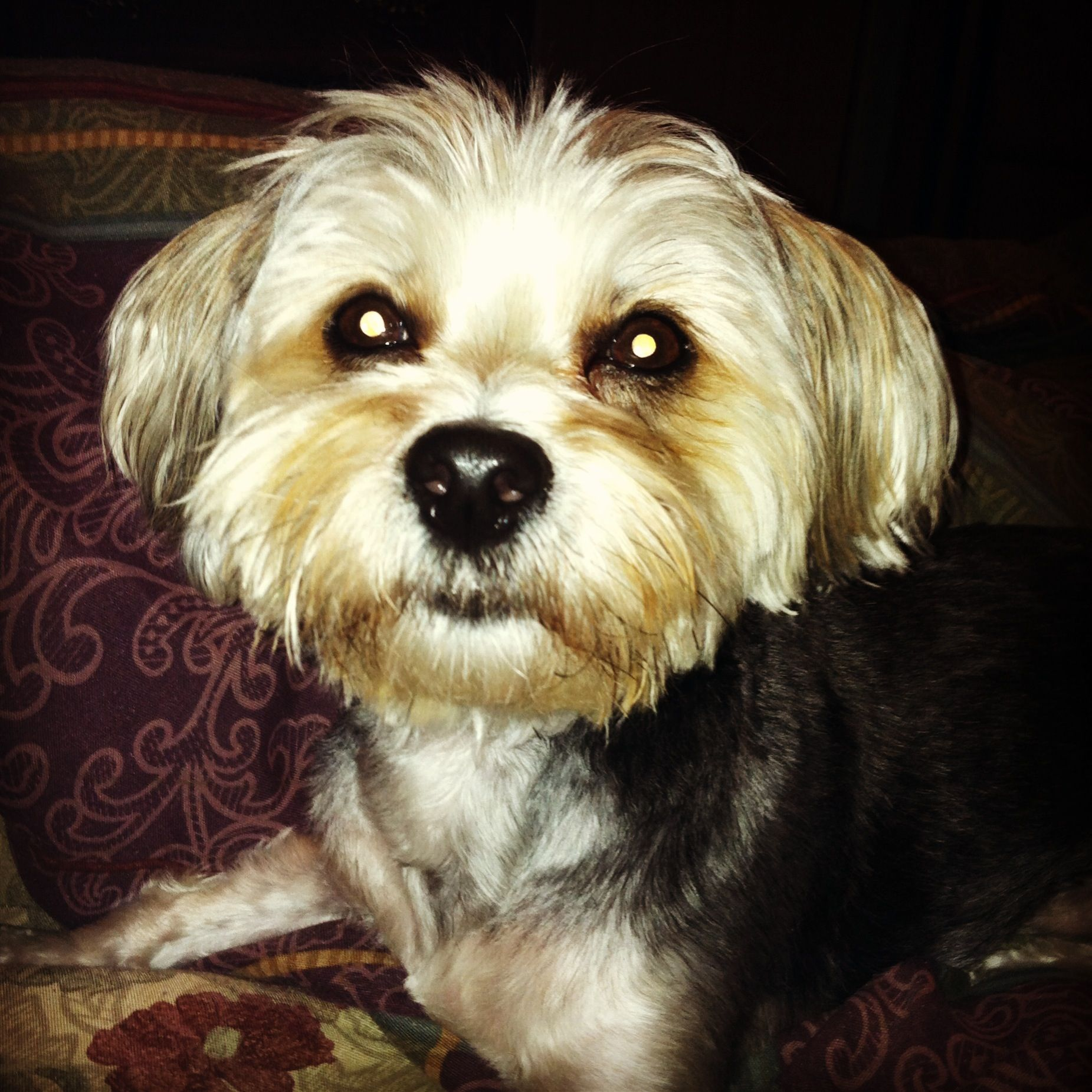 My Wonderful Morkie Shaggy Cute Puppies Shaggy Pup