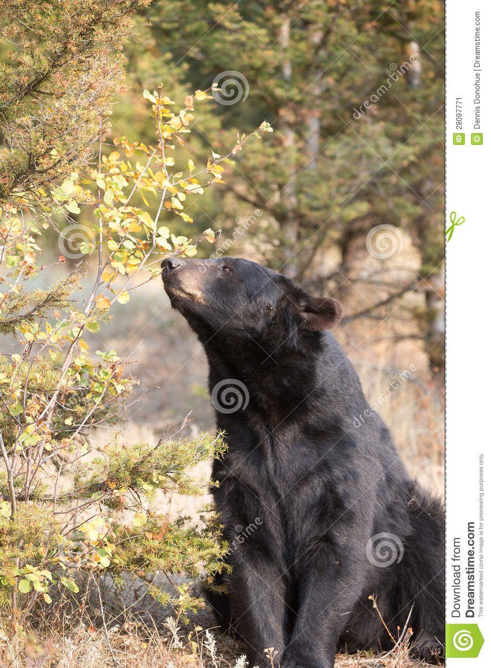 American Black Bear In Northern Woods Stock Image - Image: 28097771
