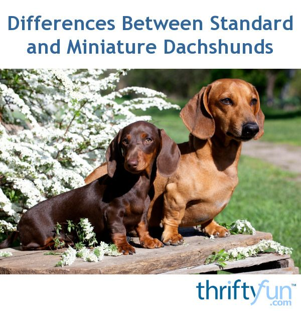 Differences Between Standard And Miniature Dachshunds Miniature