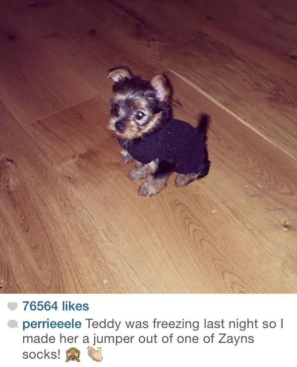 so Zerrie has a dog...named Teddy...it's like a little furball of cute... IT'S WEARING A JUMPER...im fangirling over a dog help