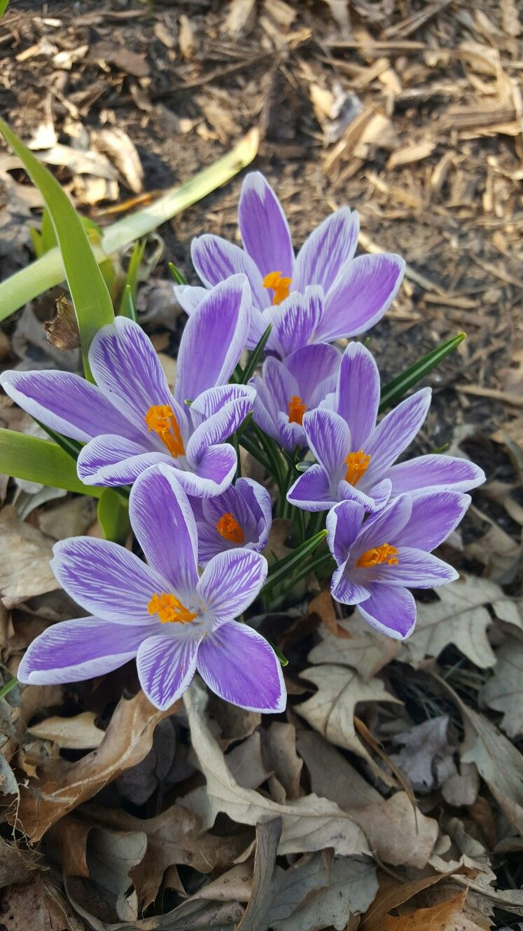 Crocus Minnesota Zone 4 First Thing To Bloom In The Spring