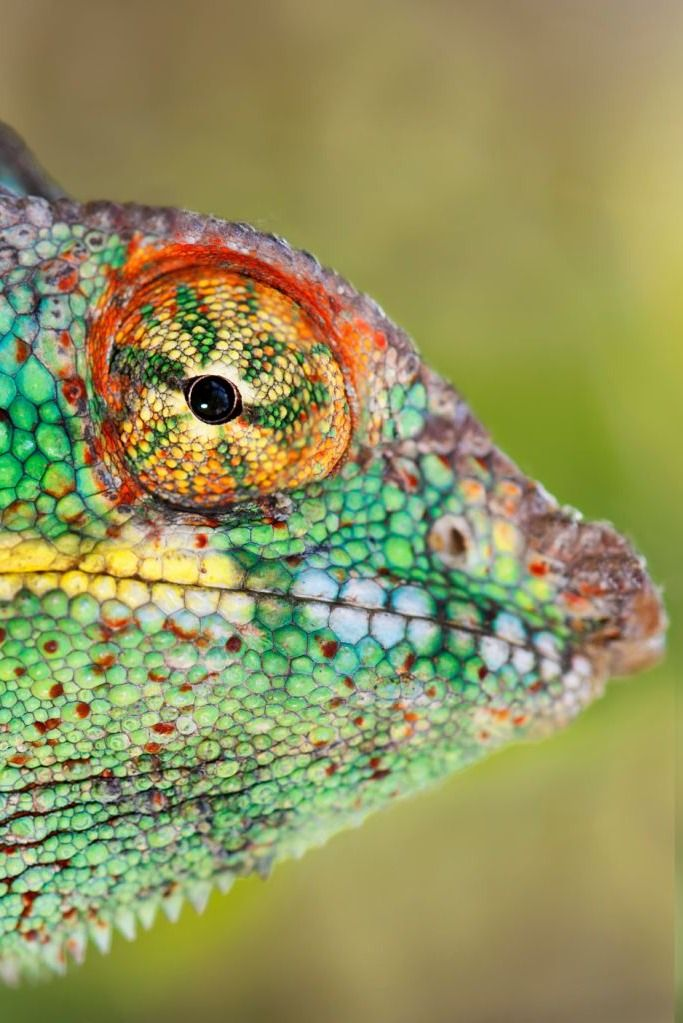 de-preciated: Close up chameleon