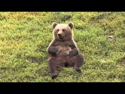 18+ Bear belly info