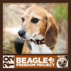 Beagle Freedom Project Check Out Their Site Beagles Are A