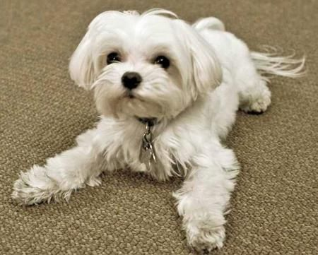 Peter Reiley The Maltese Pictures 33485 Maltese Dogs Dog Images